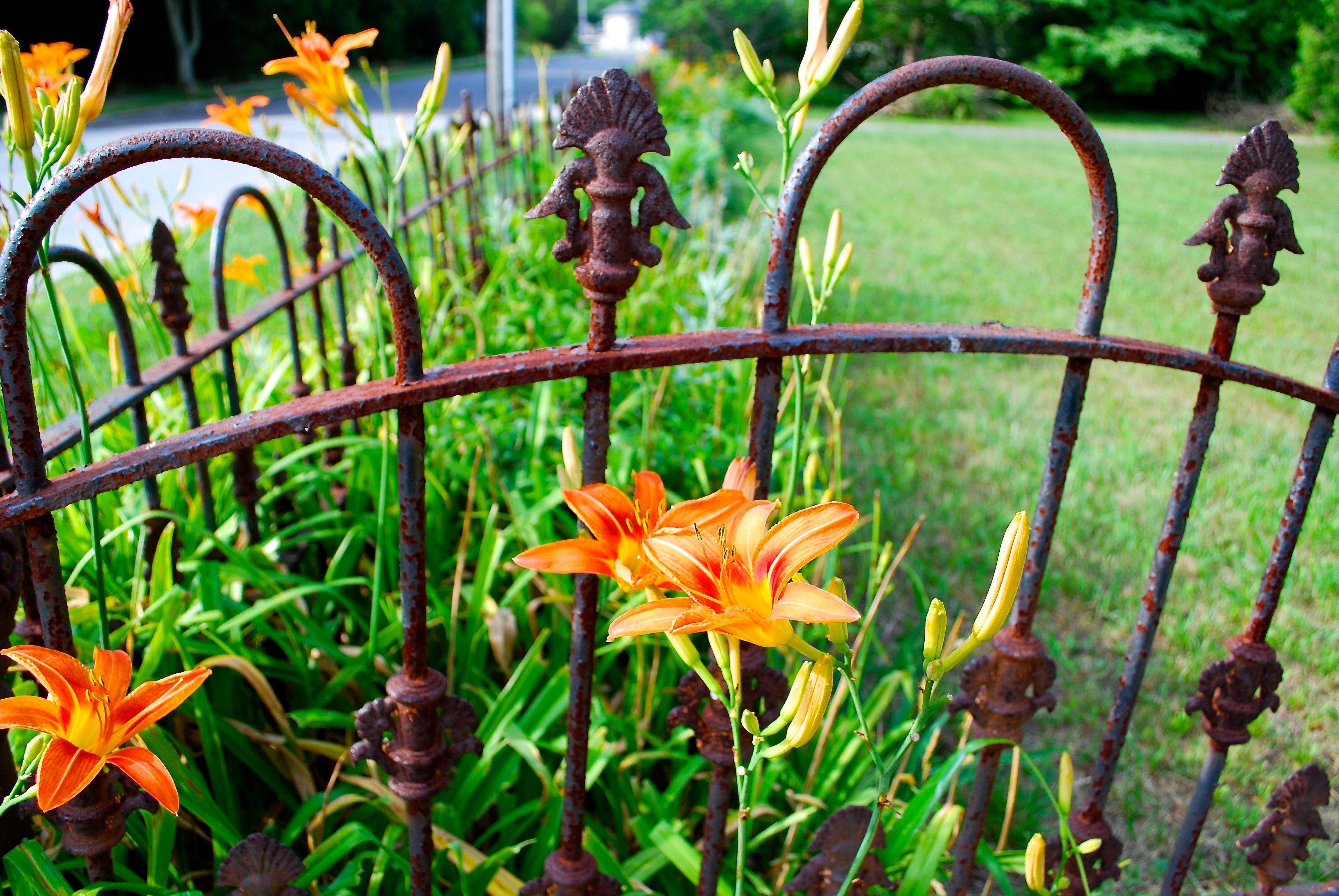 LauraBethmann_my_garden_gate_daylilies
